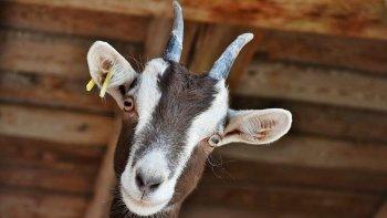 El video de la cabra que es furor en el las redes