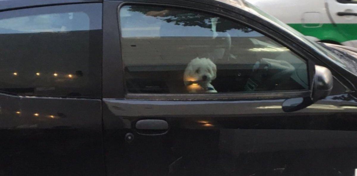 Una mujer fue demorada por dejar encerrado a su caniche en el auto