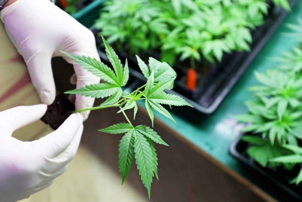 El proyecto para impulsar la industria del cannabis medicinal es considerado histórico