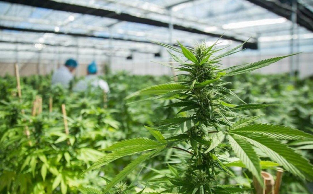 El Concejo de Rada Tilly busca declarar de interés sanitario a la planta de cannabis