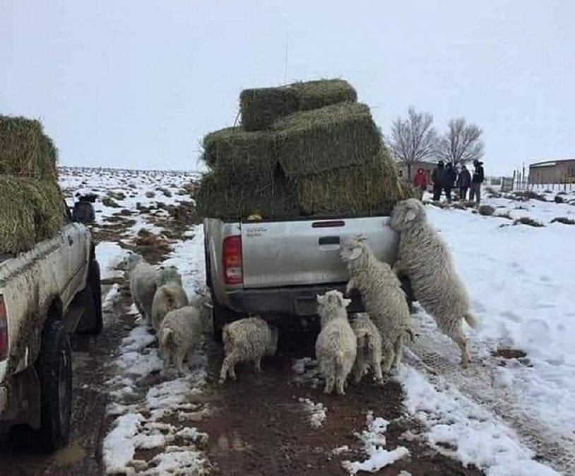 La imagenes son claras y reflejan las consecuencias de las nevadas en toda la Patagonia. Un grupo de chivos pretenden llegar a los fardos de pasto