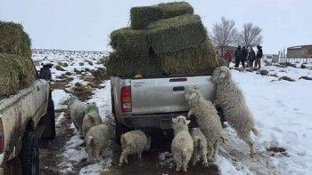 La imagenes son claras y reflejan las consecuencias de las nevadas en toda la Patagonia. Un grupo de chivos pretenden llegar a los fardos de pasto, tratando de comer.
