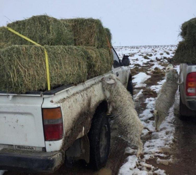 Rescate de ovejas enterradas en la nieve y chivos muertos de hambre