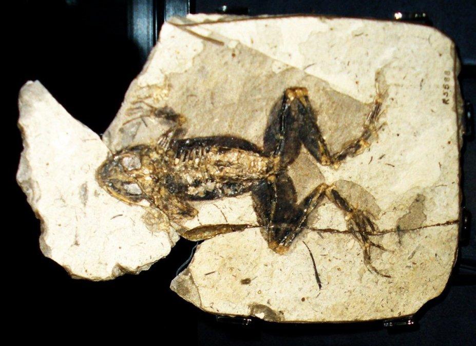Comodoro Rivadavia: Hallan una rana de más de 60 millones de años