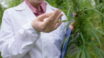 Proponen un Consejo Consultivo de Cannabis Medicinal en Comodoro