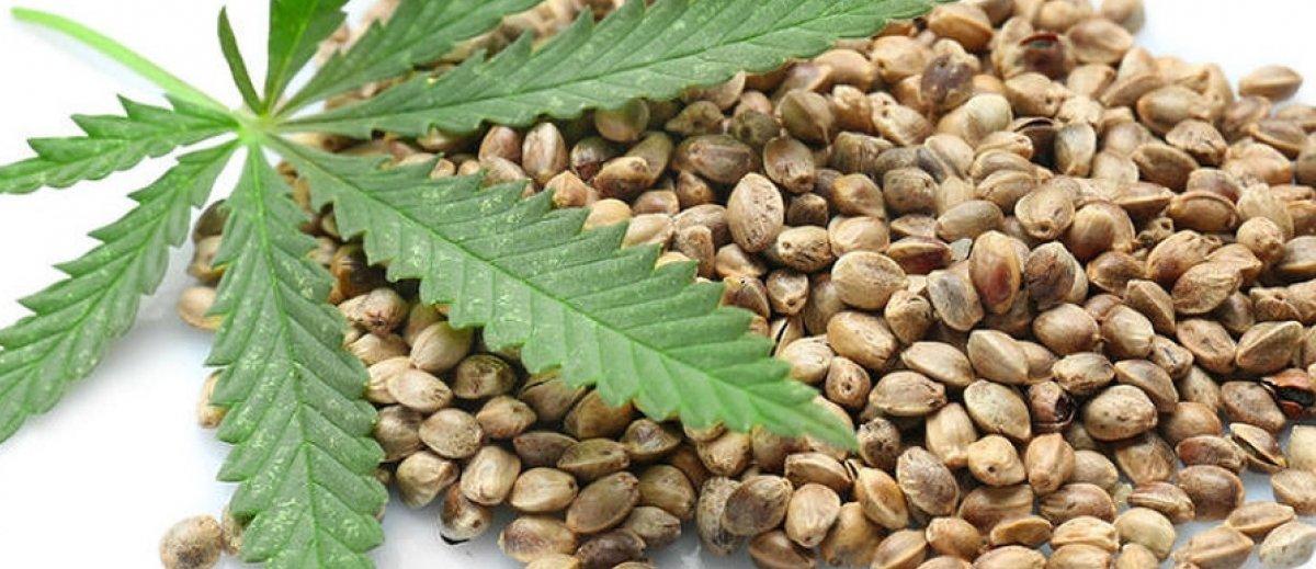 Secuestran casi 1000 semillas de cannabis