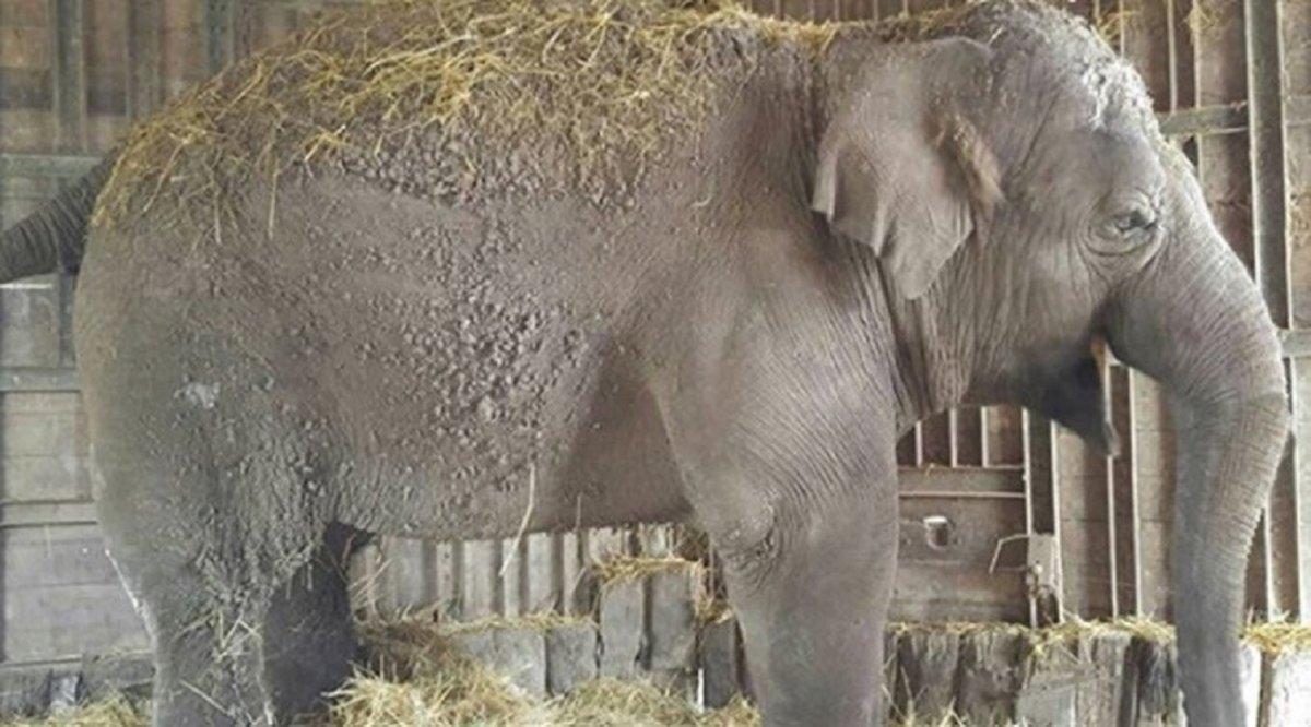 Murió Sharima, la elefanta que vivía en el zoológico de Luján