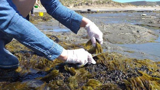 Producirán fideos a base de algas en la Universidad Nacional de la Patagonia San Juan Bosco