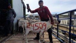 altText(Esquiló más de 24.500 ovejas y estableció un nuevo récord )}