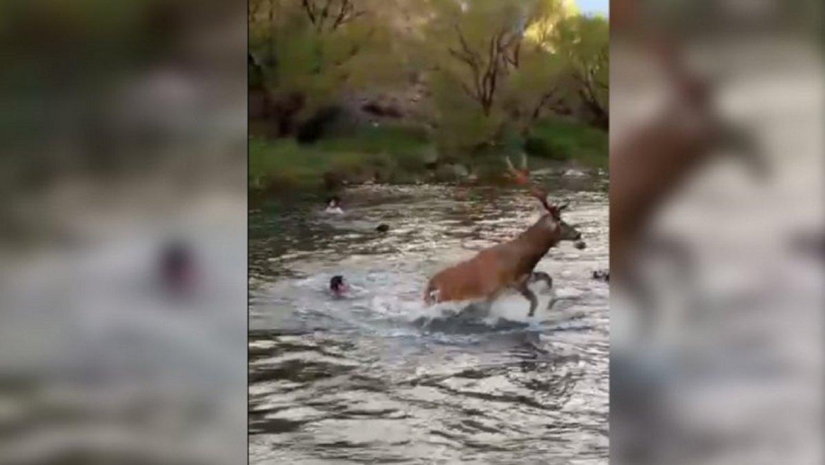 El ciervo trata de huir de la feroz persecusión