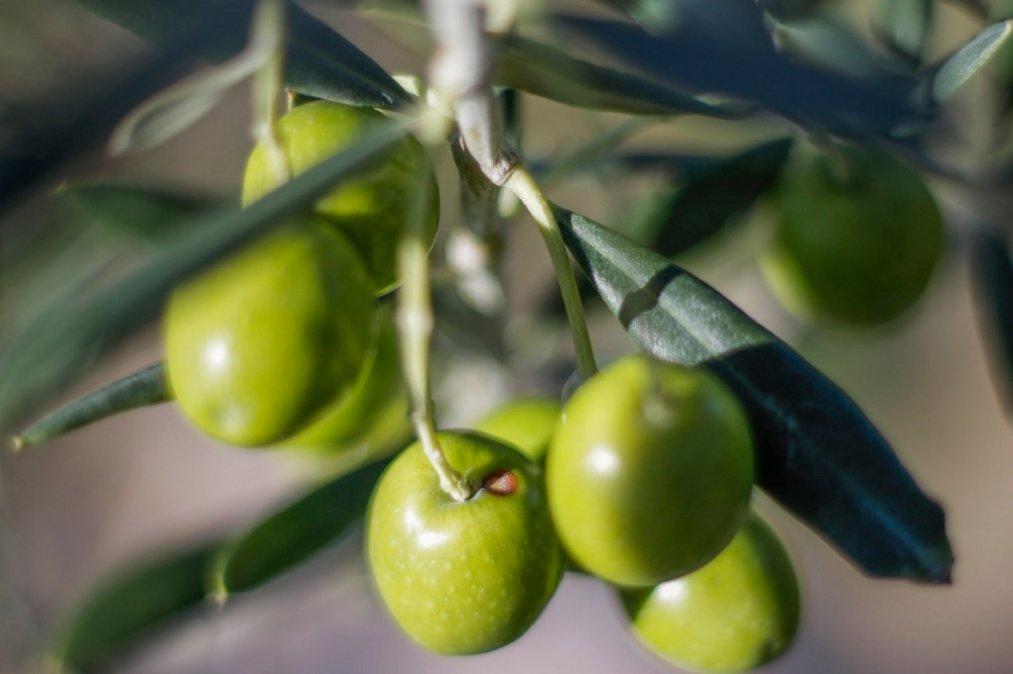 Plan Olivícola en la provincia del Chubut.