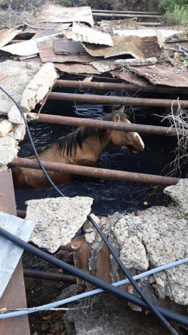 Bomberos rescataron al caballo Chamame.