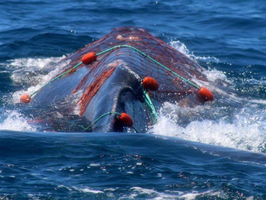 Aumentó el número de ballenas enmalladas por la actividad pesquera.