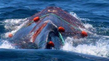 Aumentó el número de ballenas
