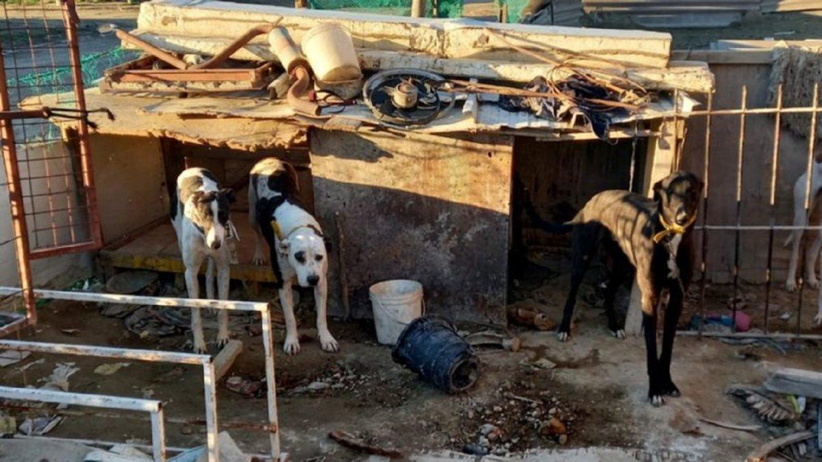 Realizaron allanamientos por carreras de galgos en Puerto Madryn.