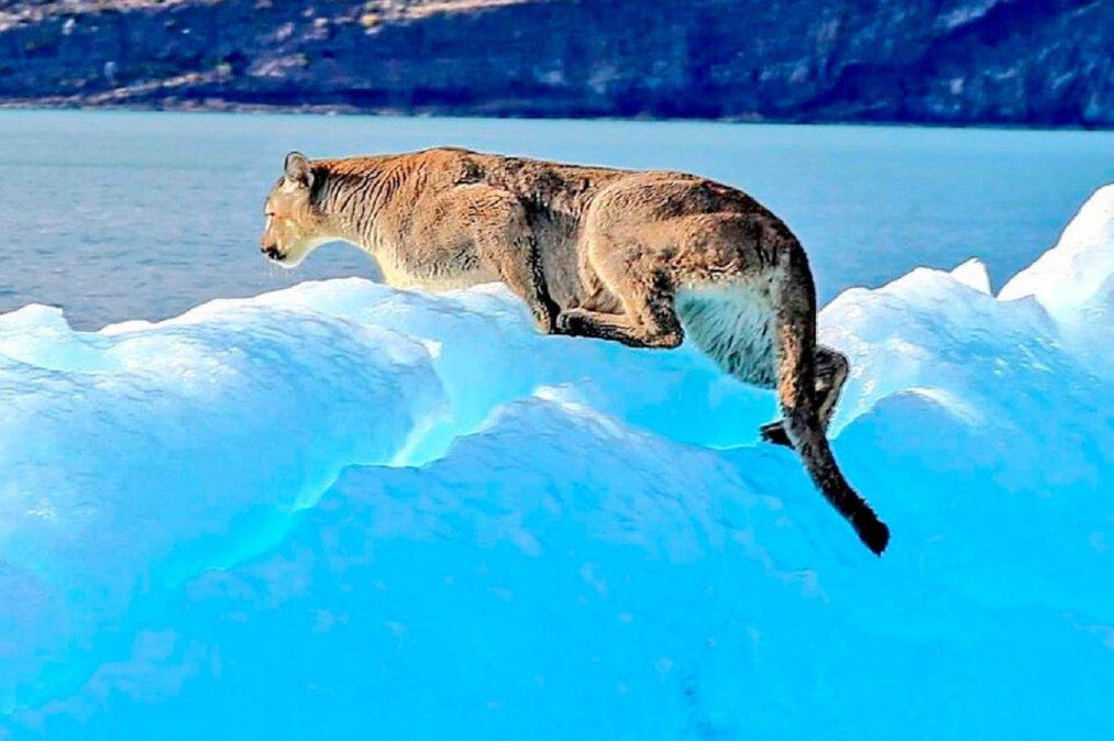 Un puma fue visto encima de un iceberg