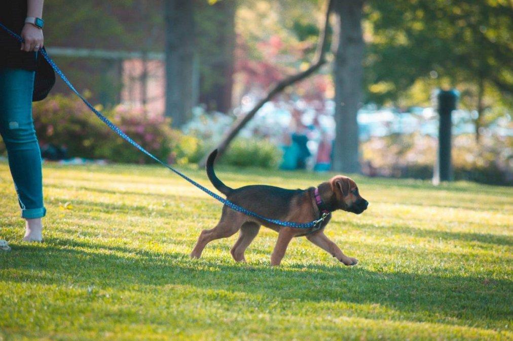 Voluntarios podrán sacar a pasear a perros sin hogar. Imagen ilustrativa.