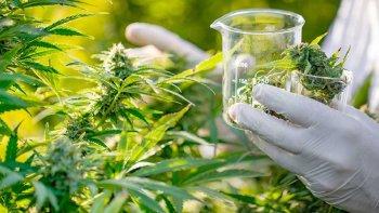 Se dictará una diplomatura en cannabis y sus usos medicinales