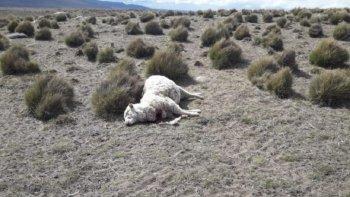 Una jauría de perros atacó a un rebaño de ovejas en Lago Blanco. Foto: Diario Jornada.