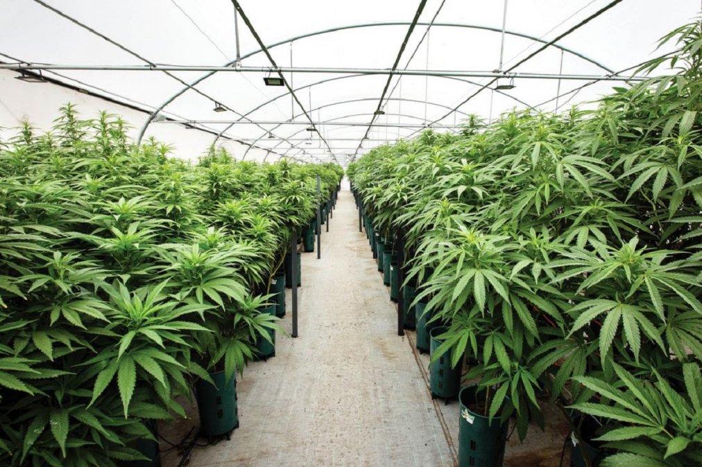 Mariano Arcioni presentó el proyecto de ley para el desarrollo productivo de cannabis en Chubut. Imagen ilustrativa.