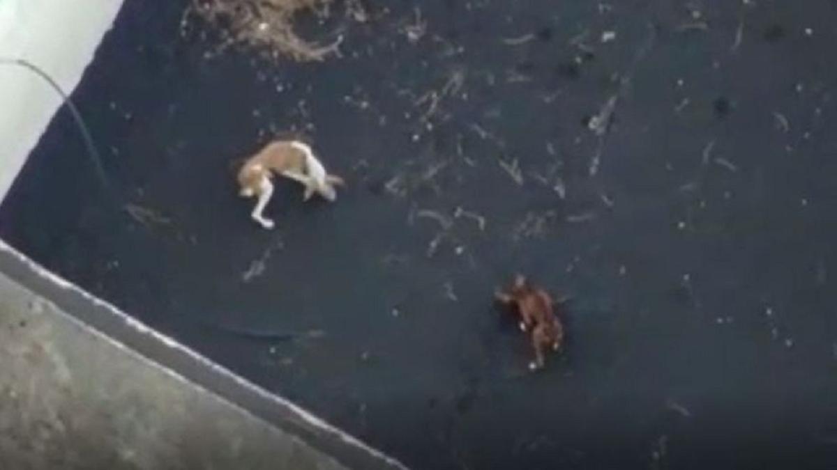 Perros fueron rodeados por la lava y se contrató el servicio de dos empresas que utilizan drones para llevarles agua y comida. Ocurre en Palma